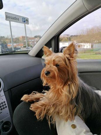Cachorrinho Yorkshire Terrier