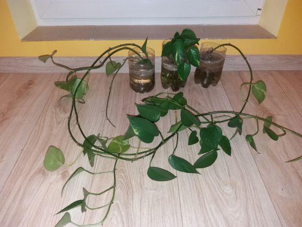 Epipremnum złociste (Epipremnum aureum) - szczepka ukorzeniona roślina