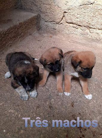 Doação de cães da Serra da Estrela