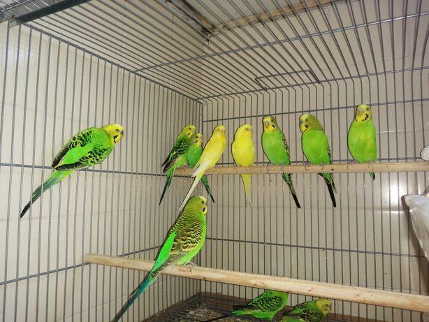 Cedo lote de 10 periquitos por 50€, 8 machos e duas fêmeas.