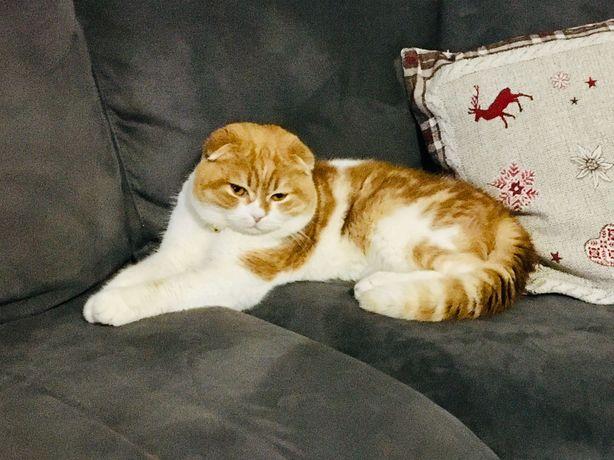 Шотландський котик для Вязки &