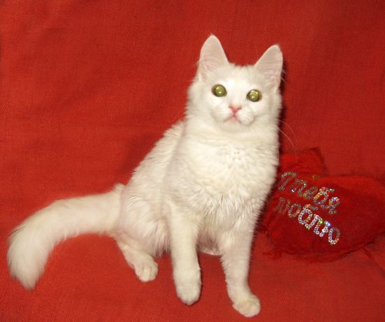 Котик, метис белой турецкой ангоры, привит, кастрирован
