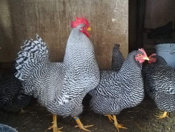 Jaja lęgowe kur rasy Amrocks, amrock