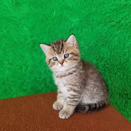 Британский плюшевый котик