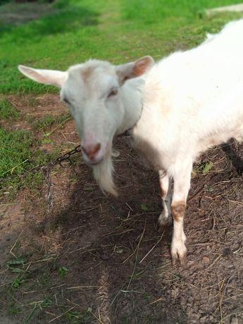 Продається молода коза