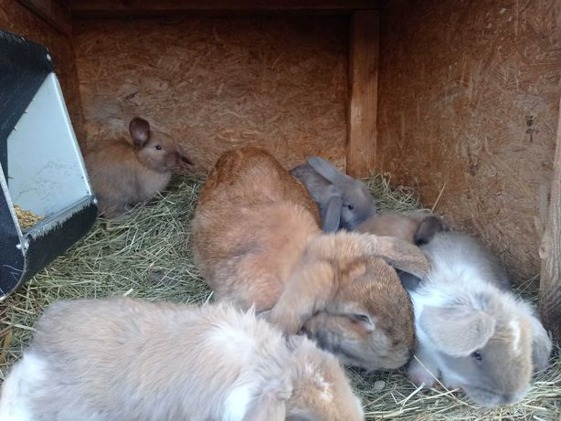 Sprzedam młode króliki - samce barany francuskie