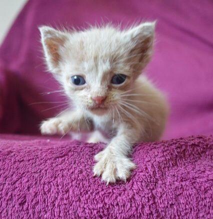 Персиковый крошечный котенок, в добрые руки.