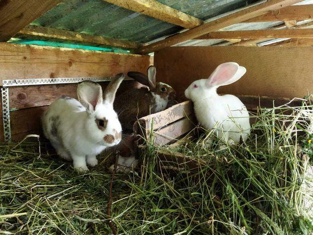 Кролики, мадьярський  панон ,бабочка , 3 мiсяцi.