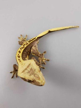 Correlophus ciliatus Gekon orzęsiony H45