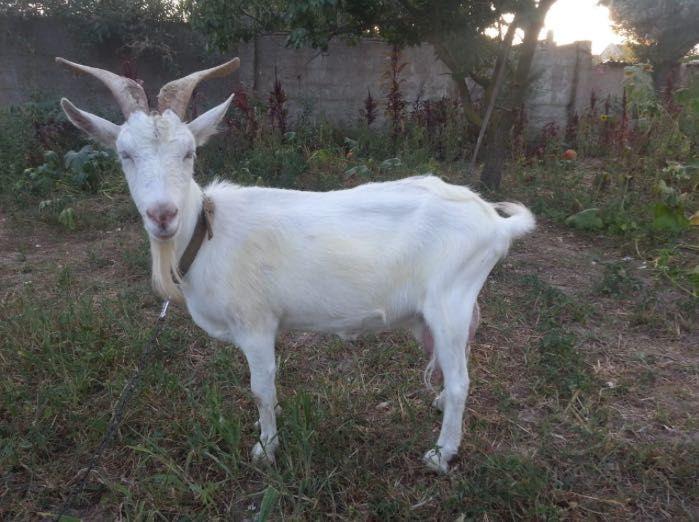 Продаю козу вместе с сеном