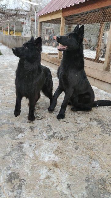Продам щенков черной овчарки