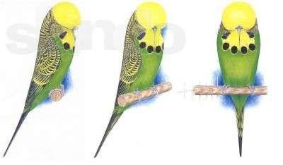 Продам гигантов выставочных волнистых попугаев-Пушистики!!!