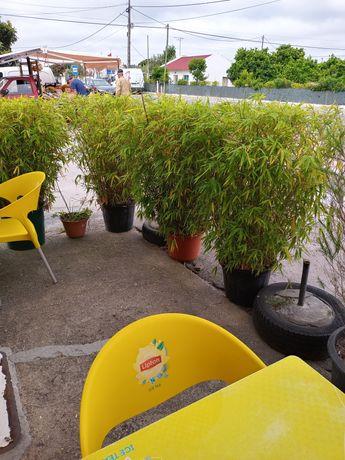 Bambus para sebes... esplanadas..etc