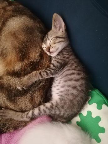 Dou gatinhos com dois meses