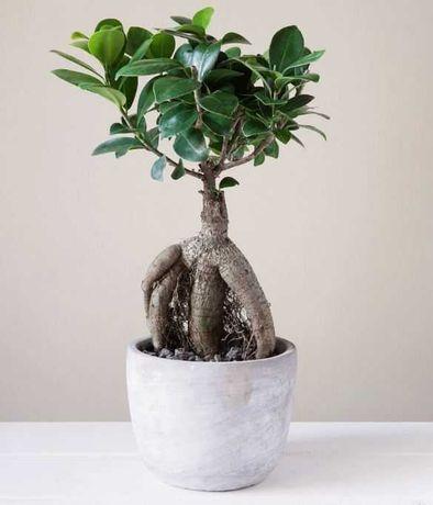 Planta Ficus em Vaso de Ceramica