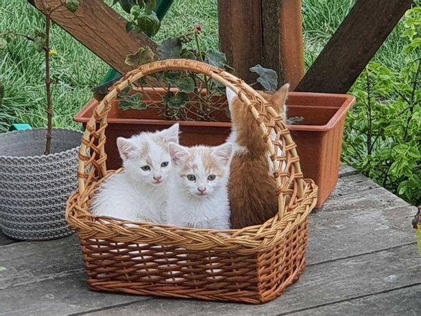 Білі грайливі котенятка