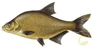Продам оптом лещ, тарань, густеру, карась. рыба. речная рыба