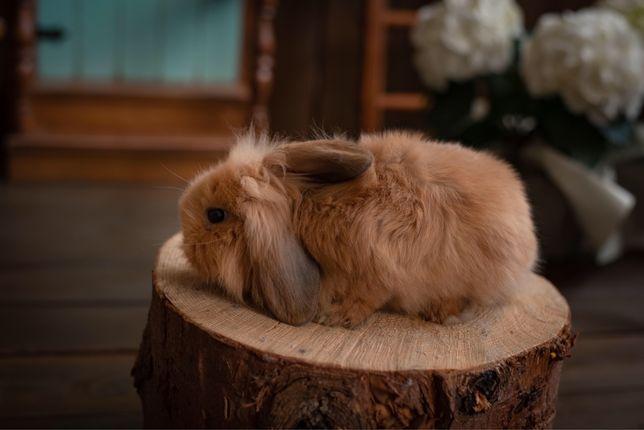 Кролик декоративный , Мини Лоп. NHD