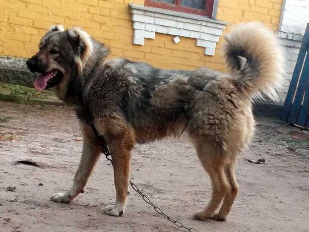 Кавказька вівчарка на охорону