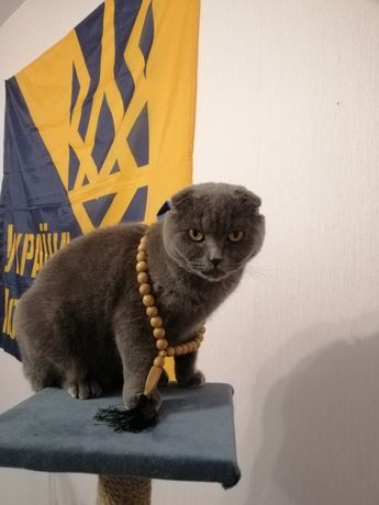 Вязка кота, шотландский вислоухий кот ждёт в гости кошечку.