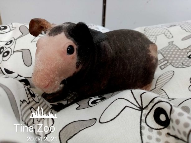 Świnka Morska Skinny samica - Tina Zoo Witkiewicza