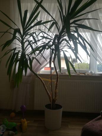 Jukka, kilkuletni kwiat,