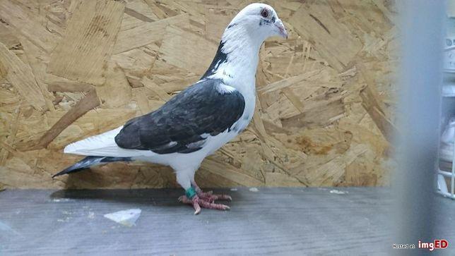 Gołębie pocztowe Adeno