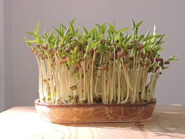Sementes Microvegetais / Brotos Ecológicos 25 variedades