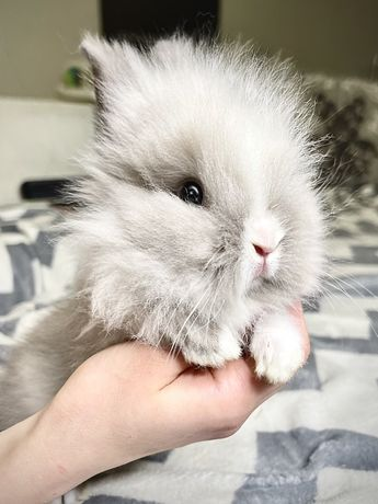Львиноголовый Карликовый Кролик от Родителей Чемпионов!