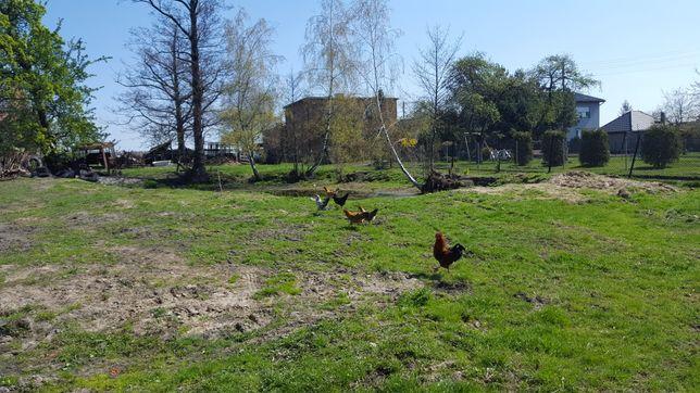 Kury na rosół dwuletnie