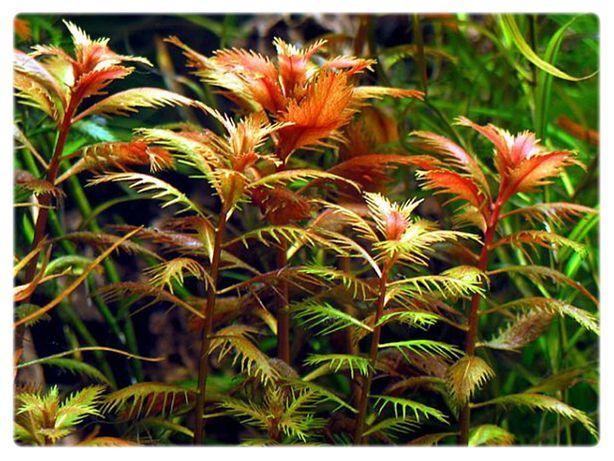 Proserpinaca palustris PEŁZACZ BAGIENNY