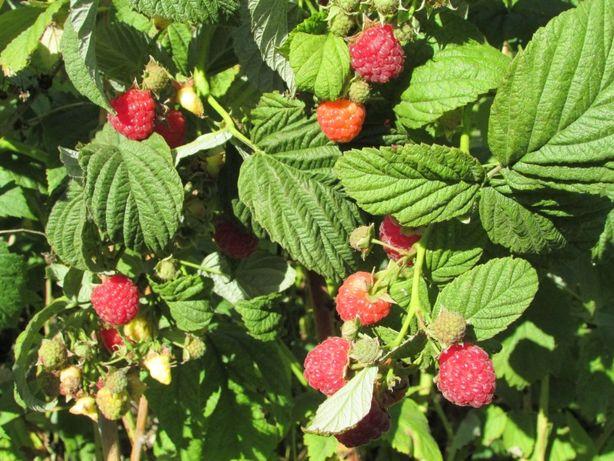Продам саженцы плодовых деревьев яблони,груши, алычи, малины