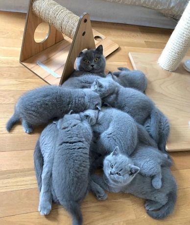 Британские, плюшевые котята, ждут Вас!