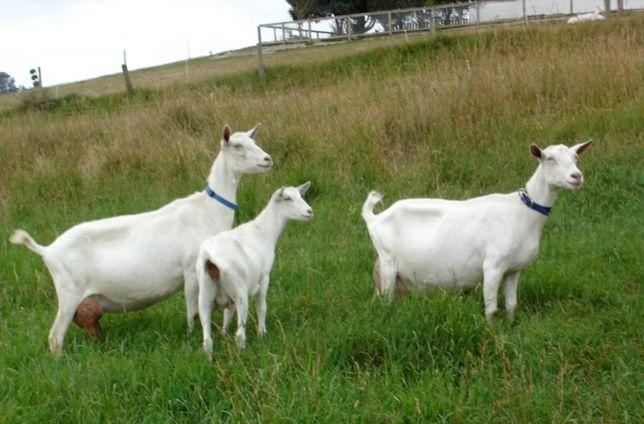 Селекційні зааненські кози!  Терміново!