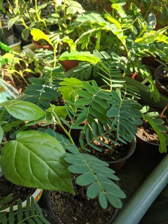 Авокадо,тамаринд(индийский финик), тамарило(томатное дерево),черимойя