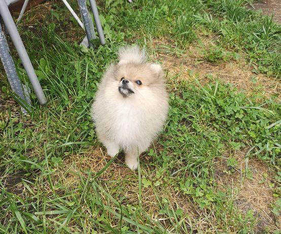Dziewczynka FCI Pomeranian Szpic miniaturowy bez wad
