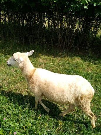 Owca z młodymi..