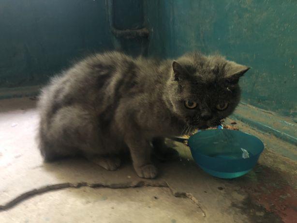 Найдена кошка найден кот британская экзотическая экзот одесская