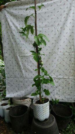 Árvores de Maracujá e Fruto