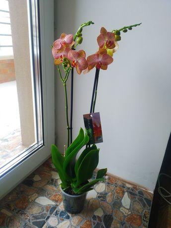 Орхідея Фаленопсис , 2 ст. - 350 грн