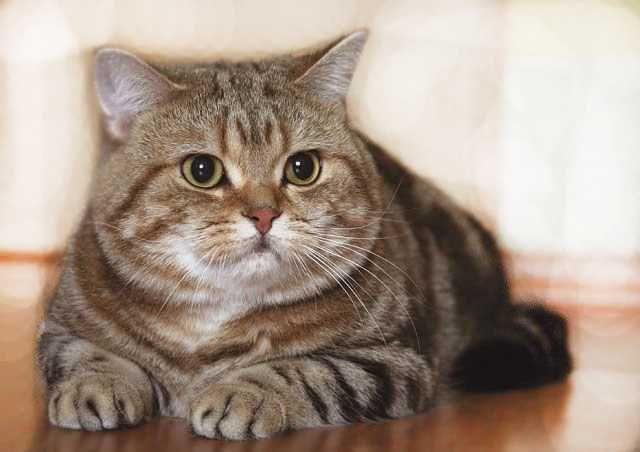 Мраморный прямоухий кот вязка