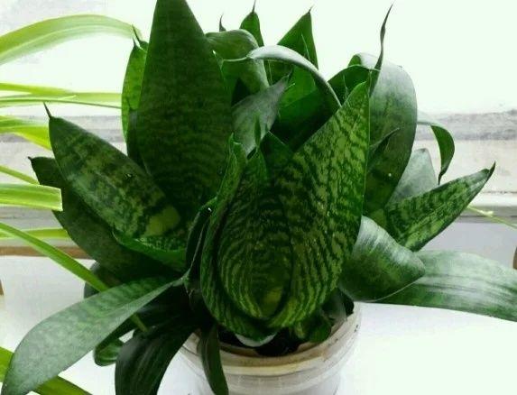 Сансевиерия многолетние комнатные растения