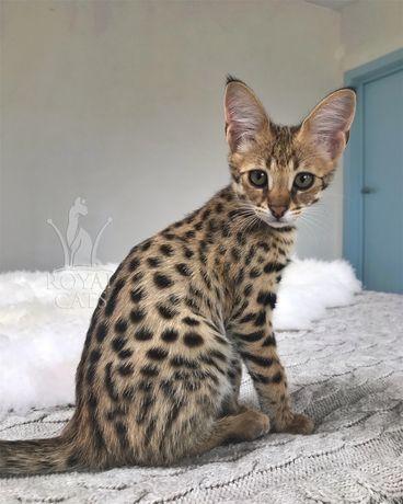 Девочка Саванна Ф1 / Ашера, гибрид Сервала / Savannah F1 kitten
