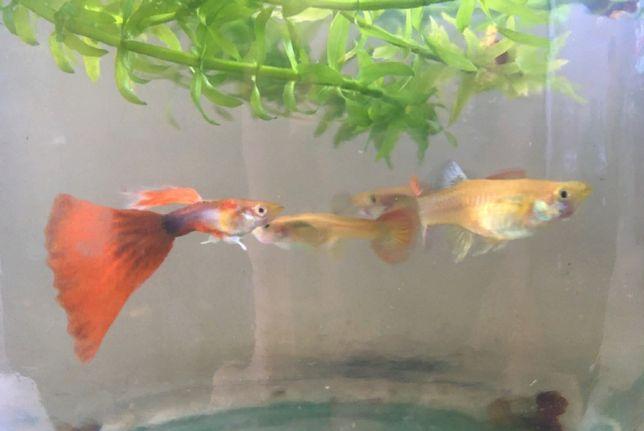 Гуппи - живородящие рыбки
