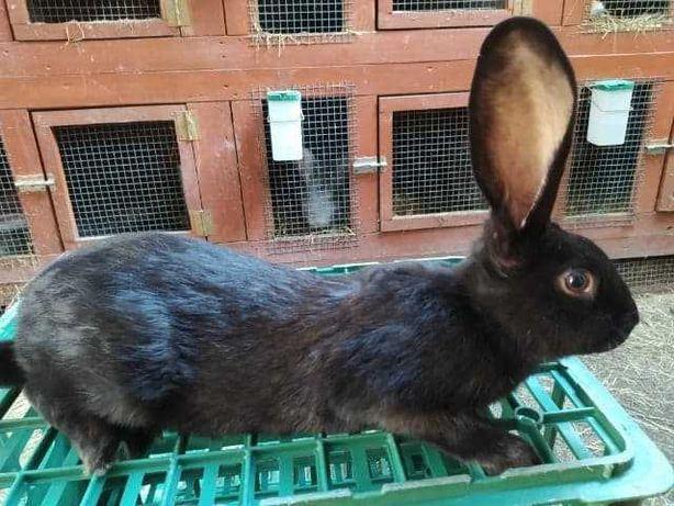 królik srokacz niemiecki czarny samiec