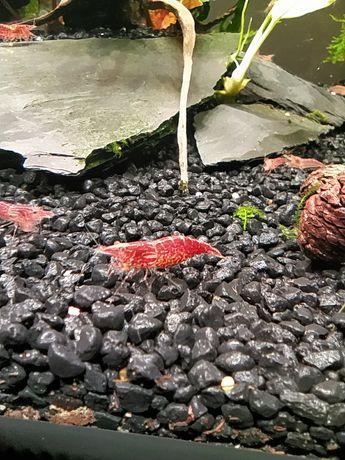 Krewetki Red Cherry pięknie wybarwione