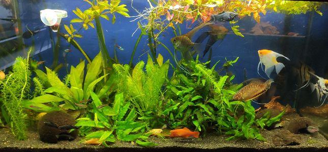 Ryby akwariowe - różne - dorosłe