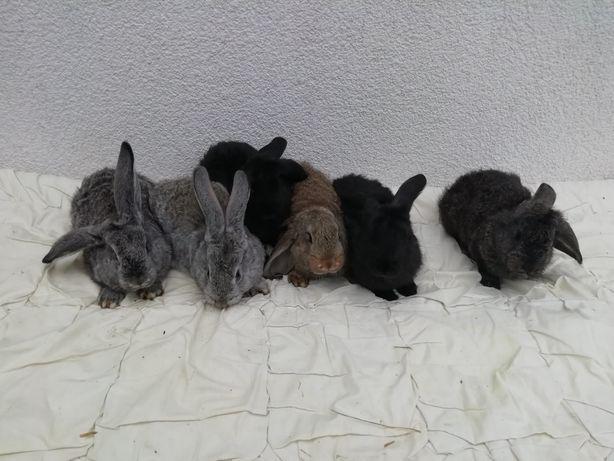 Królik - króliki