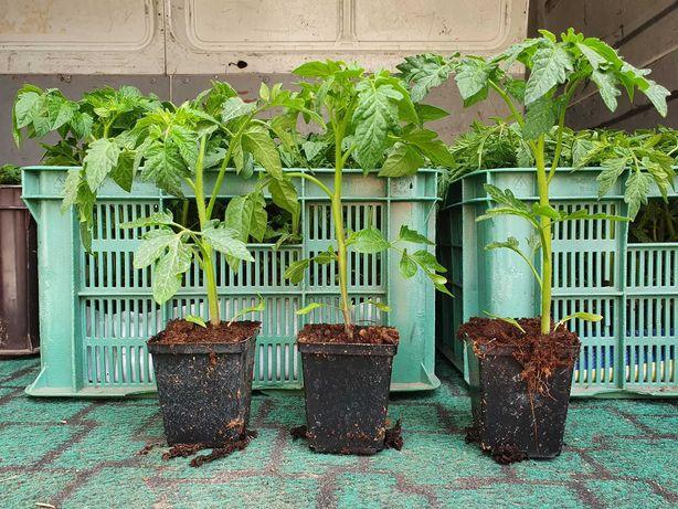 Sadzonki pomidorów rozsada pomidora sadzonka pomidora