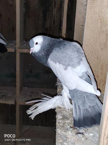 Gołębie garłacze czeskie